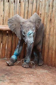 Baby Simotua, tragic victim of poaching, was rescued by DSWT. His leg has a terrible injury caused by a rope snare, and then, as if that was not enough suffering for one so young, he has a deep spear wound in his skull. Estimated to be 15 months old, he is incredibly thin having been without his mother for some time. Please support the DSWT.