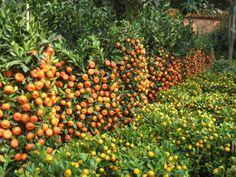 pictures of citrus fruits and trees | citrus-fruit-trees  WOW! espalier oranges, mounds of lemons!
