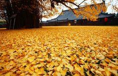 Le Gingko : ce sublime arbre de Chine aux feuilles d'or