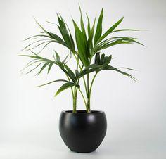 Kentia Palm in Black