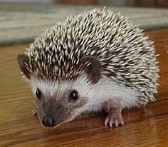 African Pygmy Hedgehog | I will get one and name him shooburt!