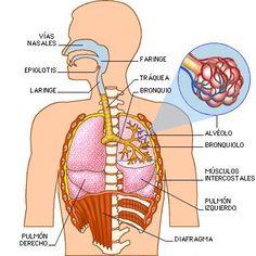 aparato respiratorio - Buscar con Google