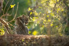 Photograph by Ross Couper Virtual Games, Leopard Cub, Big Cats, Cubs, Panther, Wildlife, Photograph, Animals, Beautiful