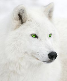 White wolf with green eyes