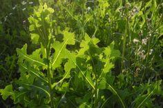 Šalát jedovatý - Nesúďte rastlinu podľa názvu Parsley, Spinning, Herbs, Food, Hand Spinning, Essen, Herb, Meals, Yemek