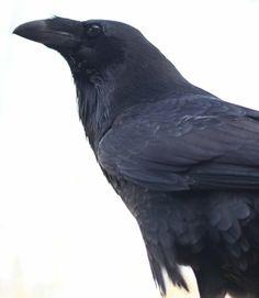 Raven social order study
