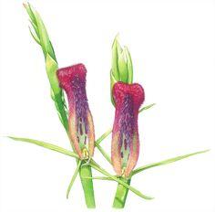 Leafless Tongue Orchid Australian native