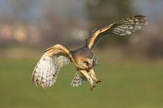 Barn Owl by Milan Zygmunt