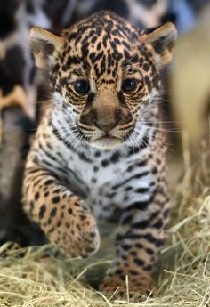 Jaguars are the largest cats in the Western Hemisphere and the third largest overall. Only lions and tigers are bigger.(Photo by Debbie Beals)