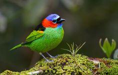 Foto saíra-militar (Tangara cyanocephala) por Ronaldo Lebowski | Wiki Aves - A Enciclopédia das Aves do Brasil