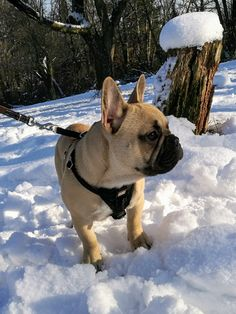 Snowtime! French Bulldog, Dogs, Cute, Animals, Animales, Animaux, French Bulldog Shedding, Pet Dogs, Kawaii