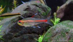 Glowlight Tetra/Hemigrammus erythrozonus (Female, males are more slender) Tropical Freshwater Fish, Freshwater Aquarium Fish, Tropical Fish, Betta Aquarium, Planted Aquarium, Neon Tetra Fish, Aquarium Design, Water Life, Pisces