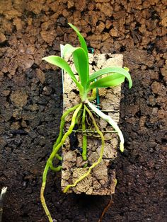Sobennikoffia robusta