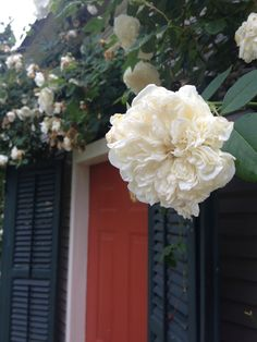 Lamarque Rose in bloom at P.Allen Smith's Gaines Street