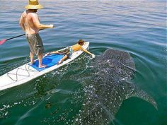 Paddle boarding beside a large whale shark. I'd be petrified! Sup Girl, Sup Stand Up Paddle, Sup Yoga, Ocean Creatures, Shark Week, Big Fish, Ocean Life, Paddle Boarding, Marine Life