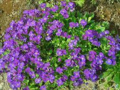 Blaukissen - Steingarten - Blüte April-Mai - Sonne - winterhart - wächst super