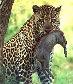 A leopard hunting. The leo is the predator, and the pig is the prey.