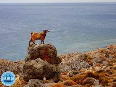 wandern und laufen in kreta Heraklion, Goats, Camel, Hani, Animals, Island, Hiking Trails, Keep Running, Animales