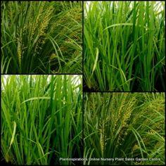 Lomandra Hystrix Native Plants x 10 Tuf Native Grasses Green Mat Rush Garden Plants Grass Water Pond $29.90