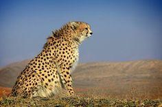 Persian Cheetahs