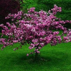 Ornamental crabapple.  Plant one of these for a lavish pop of white, pink, or red flowers each spring.