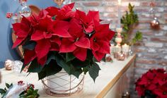 Do you have your poinsettia for the season? The perfect plant to help celebrate the season! Euphorbia Pulcherrima, Christmas Poinsettia, Perfect Plants, Christmas Decorations, Table Decorations, Container Gardening, Indoor Gardening, Horticulture, Shrubs