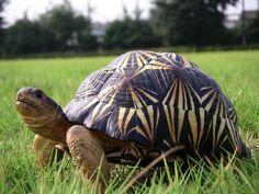ADORABLE Radiated tortoise