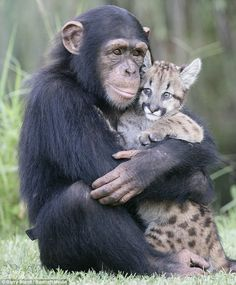 I'll be your mummy and you be my little kitty cat: Anjana the chimp shows off her parenting skills.with a puma cub .I'll be your mummy and you be my little kitty cat: Anjana the chimp shows off her parenting skills.with a puma cub. Animal Hugs, Especie Animal, Mundo Animal, Cute Baby Animals, Animals And Pets, Funny Animals, Wild Animals, Monkeys Animals, Smiling Animals