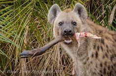This hyaena stole a leopard kill stashed in the bushes at Kwetsani Camp Wilderness, Kangaroo, Safari, Van, Camping, Canvas, Pictures, Animals, Wildlife Nature