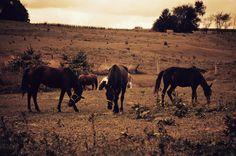 Horse Photography Fine Art Print - Horses, Nature Photography, Animals, Travel, Sepia, Wall Art, Black Horses, Large Size Prints