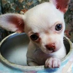 Love the blue eyes Teacup Chihuahua, Chihuahua Puppies, Cute Puppies, Cute Dogs, Dogs And Puppies, Chihuahuas, Doggies, Little Dogs, Best Dog Breeds