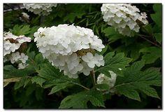 oakleaf hydrangea - Hydrangea quercifolia 'Snow Queen'.