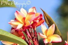 Frangipani Pink Bouquet #photo #photography #photoart #photoblog #ThePhotoHour #PNEPhotography #flowerphotography #flowers #frangipani