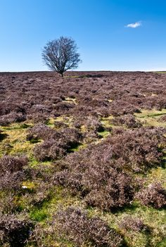Heather & tree, Yorkshire Dales