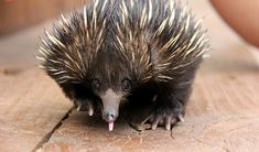 Echidna puggle on the road to recovery - Australian Geographic