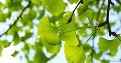 Gingko hilft bei Durchblutungsstörungen in Armen, Beinen und Gehirn. Erfahren Sie jetzt mehr über die Heilpflanze und ihre Wirkung!