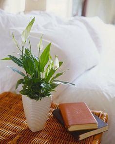 household wives tales that work: just bought myself a peace lily :D Indoor Plants Low Light, Best Indoor Plants, Peace Lillies, Poisonous Plants, Bedroom Plants, Cactus Y Suculentas, Plantar, Low Lights, Amazing Flowers