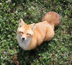 A happy little fox