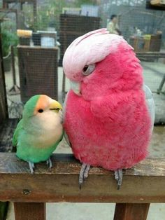 Parrot baby and mother!