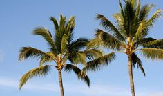 The Best Exterior Palm Tree - Canary Island Date Palm - Phoenix Canariensis Canary Island Date Palm, Canary Islands, Free Pictures, Free Images, Arugam Bay, Tropical, Cabana, Sri Lanka, Palm Trees