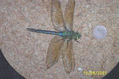 pictures of illustrated dragonflies - Google Search