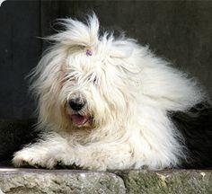 Sceavian's Always a Gentleman - Old English Sheepdog Database