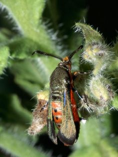 Identifying the Squash Vine Borer: this site shows several good pictures to help id this zucchini killer. There are better methods of controlling them.