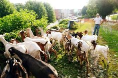 20140708dsGoatsLoc04-3 Goats graze on overgrowth Tuesday above Brereton Street in Polish Hill. At right is goat tender and consultant Brian ...