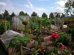 allotment gardening, halfway thru a record wet spring and summer 2016. Moestuinieren ondanks een record natte lente en zomer 2016