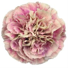 Buy wholesale cut Antigua Carnations for delivery to any UK address. Carnation Antigua are pink/cream, tall & ideal for bridal work & wedding flowers. No minimum order required - Floral accessories also available. Types Of Flowers, Cut Flowers, Colorful Flowers, Beautiful Flowers, Rose Flowers, Fabric Flowers, Carnation Colors, Pink Carnations, Diy Wedding Flowers