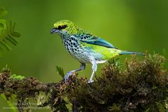 Speckled Tanager (Tangara guttata) in Costa Rica. I would appreciate if you follow me on Facebook! https://www.facebook.com/pages/Juan-Carlos-Vindas-Photography/144168439011827?ref=hl  2014 Nature Photography and private birding tours here: http://www.juancarlosvindasphoto.com/workshops-2/  www.juancarlosvindasphoto.com ©Juan Carlos Vindas Neotropical photography  Prints available, please let me know if you are interested in one of my images, I can ship worldwide!  Feel free to share this…