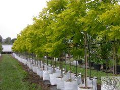 Winter Hill Tree Farm: Golden Robinia — Robinia pseudo. Frisia