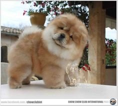 Chow Chows are like teddy bears soooo fluffy.