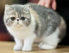 Short haired Persian cat. I need one